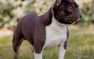 Recognizing Color Combinations in French Bulldogs