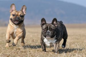 two French bulldogs running in a field