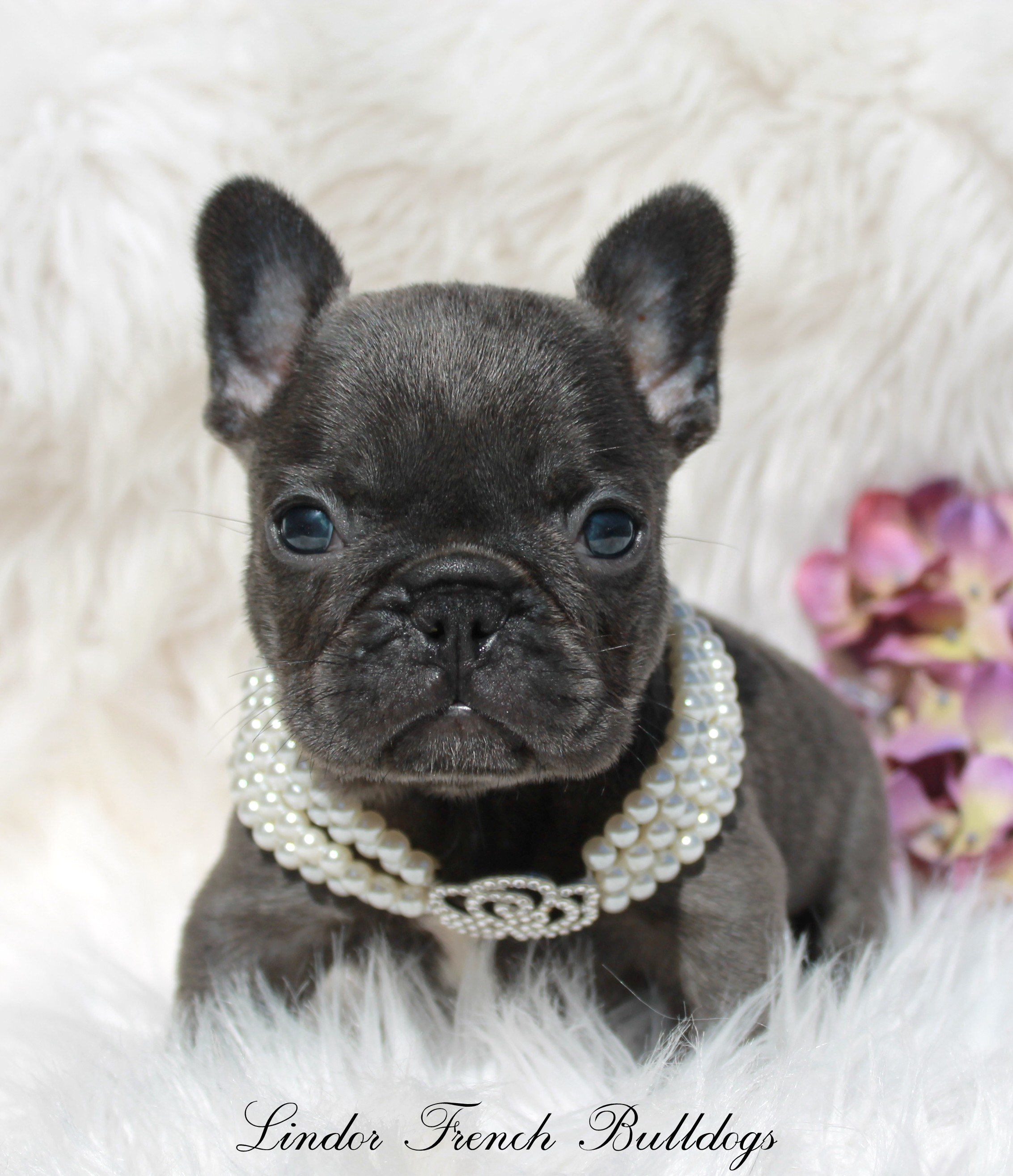 Female – Blue – Pet Price