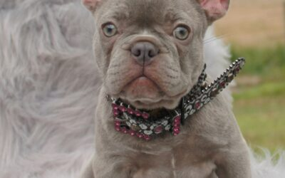 Why Are Lilac and Blue Frenchies So Unique?