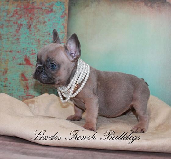 blue sable french bulldog