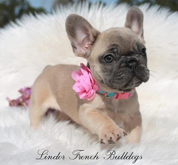 blue fawn french bulldog puppy